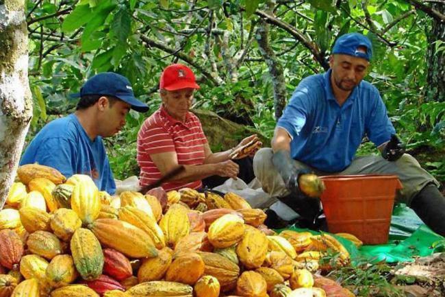 Más de $1.800 millones se destinarán para los cacaoteros de la región