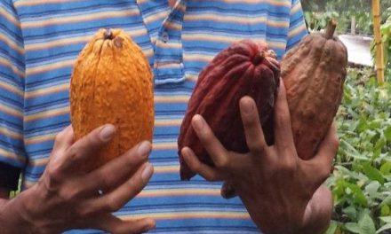 Sector cacaotero logró nuevo récord de 63.416 toneladas de producción en 2020