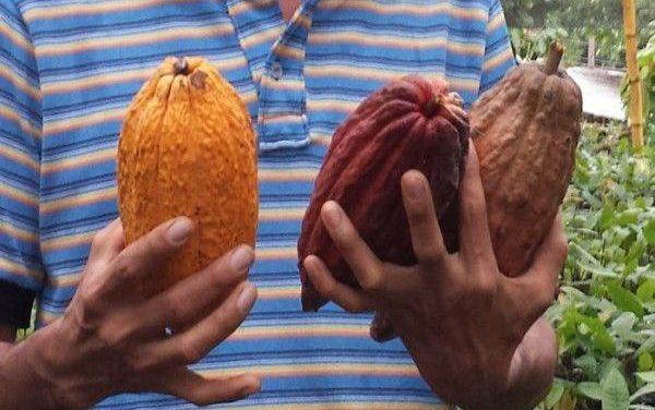 Baja en precio de cacao preocupa a los cultivadores de Santander