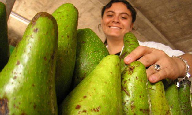 Enfermedad del aguacate criollo está en 177 predios de El Carmen de Chucurí