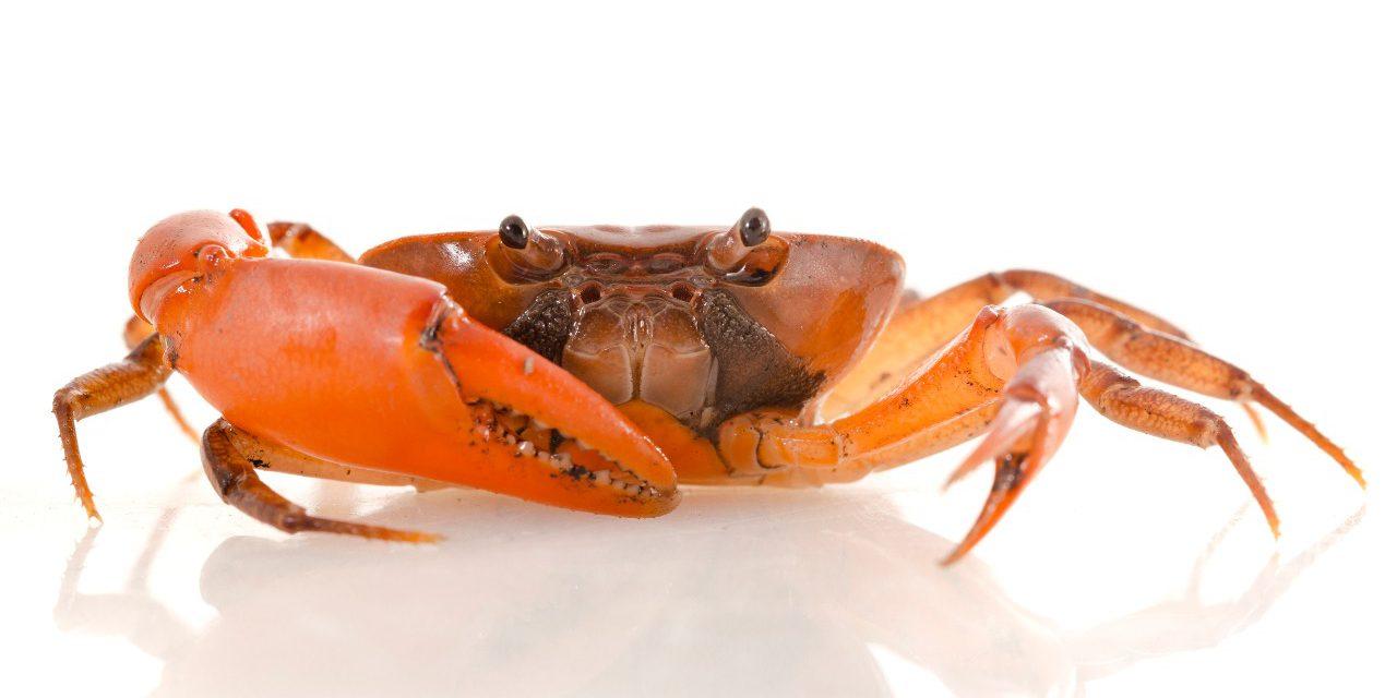 Cangrejo naranja de agua dulce, especie descubierta en el Carmen de Chucurí