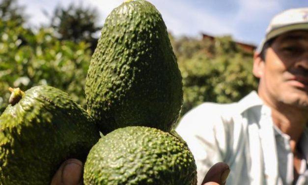 Aguacates Santandereanos: los más deseados