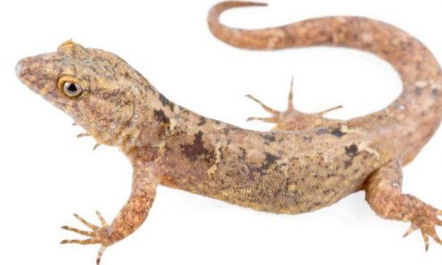 Una nueva de lagartija fue identificada en San Vicente de Chucurí