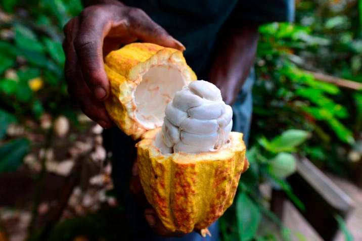 Más de 400 hectáreas de cacao serán renovadas en San Vicente de Chucurí